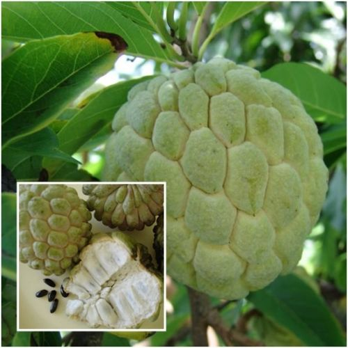sugar_apple_seed