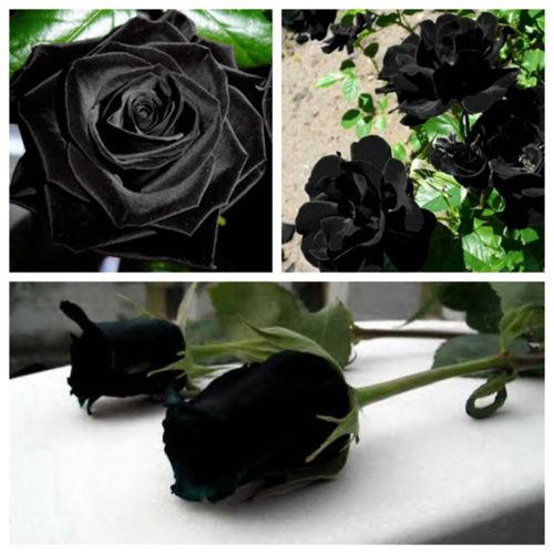 rose_black