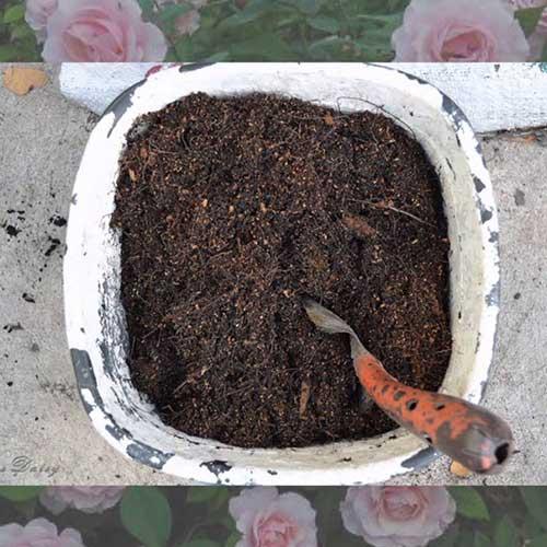 Grow-roses-