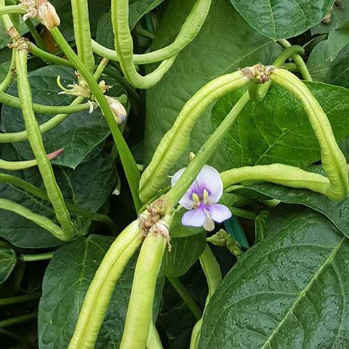 Growing-Beans-pic
