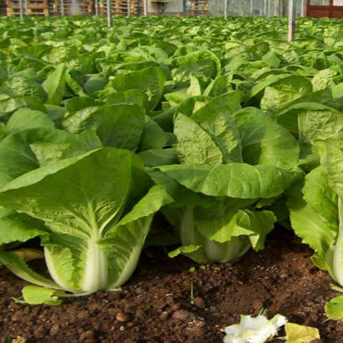 Chinese-cabbage-only-site
