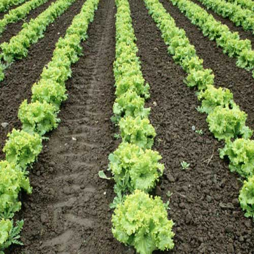 only-site-Chinese-cabbage