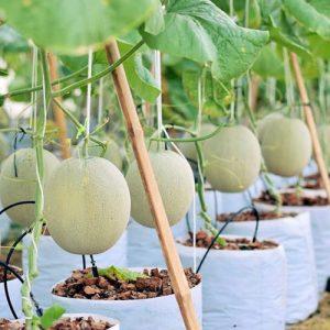 How-grow-melon