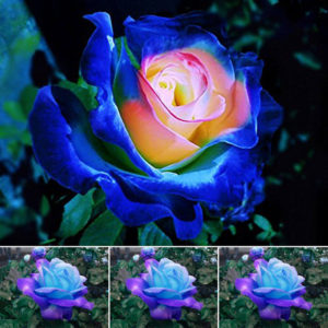 blue_pink_rose_flower_seeds