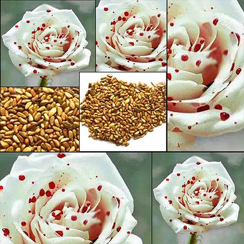 white_blood_rose_seeds