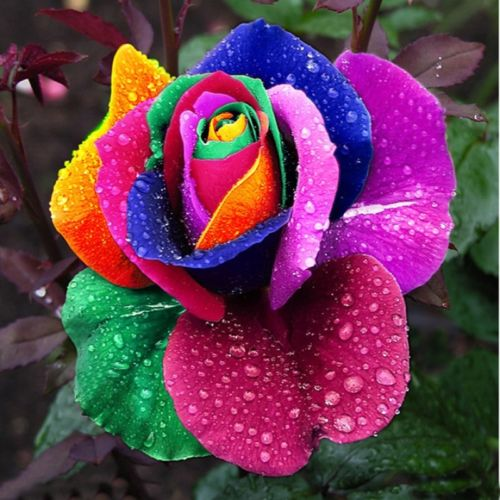 rose_flower_rainbow