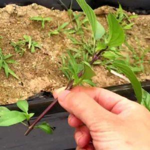 Basil-leaf-