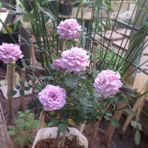 Grow-roses_