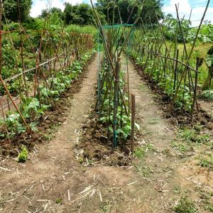 Growing-Beans