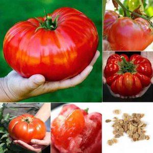 Giant-tomato-