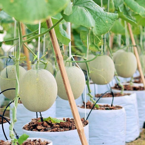 How-grow-melon
