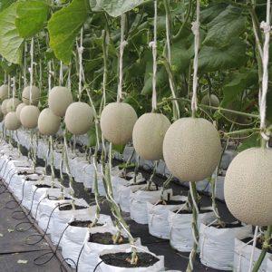 grow-melon